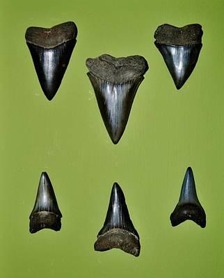 Fossil Mako Shark Teeth Art Print