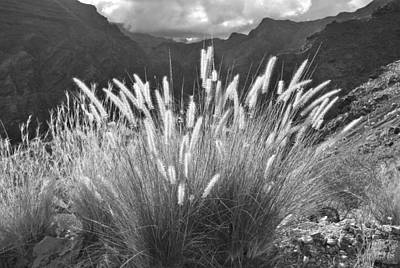 Photograph - Fountain Grass Canary Islands by Marek Stepan