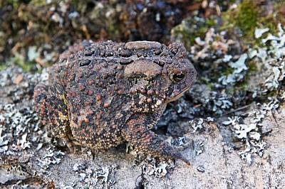 Photograph - Fowler's Toad  by Michael Peychich