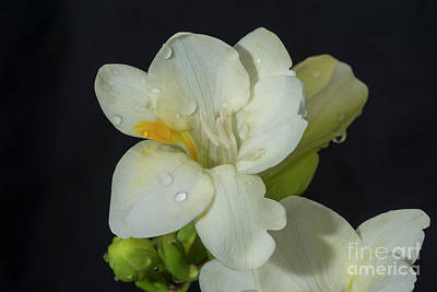 Photograph - Freesias 17 by Glenn Franco Simmons