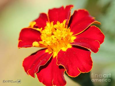 Photograph - French Marigold Named Durango Red by J McCombie