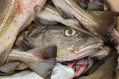 3 Fish Photograph - Fresh Cod, Iceland by Panoramic Images