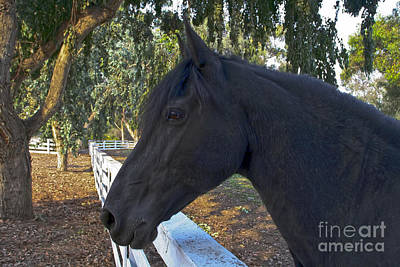 Photograph - Friesian Horse Head by Waterdancer
