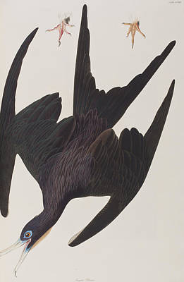 Pelican Painting - Frigate Pelican by John James Audubon