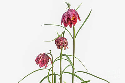 Photograph - Fritillaria Meleagris On White by Patricia Hofmeester