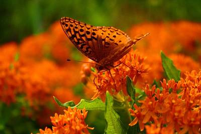 Photograph - Fritillary On Butterfly Weed by Kathryn Meyer