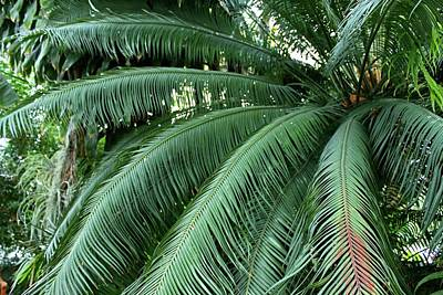 Photograph - Fronds by Michiale Schneider