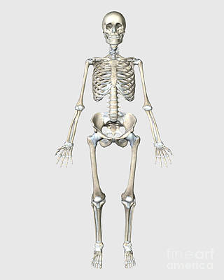 Front View Of Human Skeletal System Art Print by Stocktrek Images