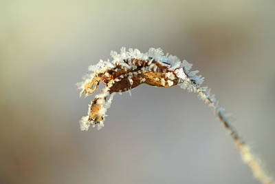 Gelid Photograph - Frosted by Jeff Swan