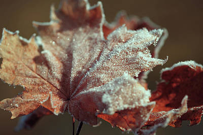 Photograph - Frosty Maple Leaf by Jenny Rainbow
