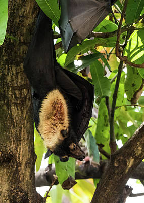 Photograph - Fruit Bat by Walt Sterneman