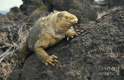 Land Iguana Photograph - Galapagos Land Iguana by Gerard Lacz