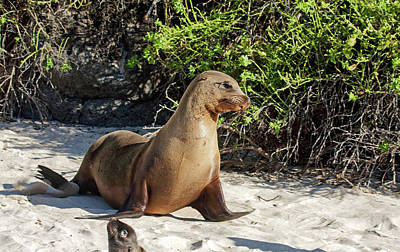 Photograph - Galapagos Sea Lion Walking by Sally Weigand