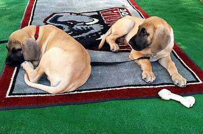 Photograph - Gameday Great Dane Puppies by Kenny Glover