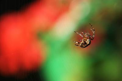 Photograph - Garden Cross Spider by Chris Day