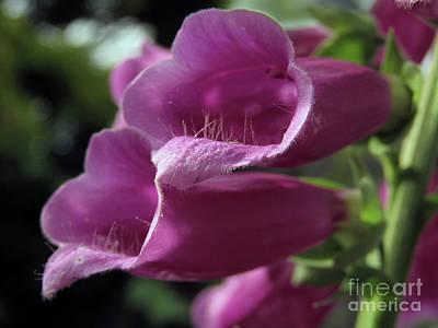Photograph - Garden Foxgloves by Kim Tran