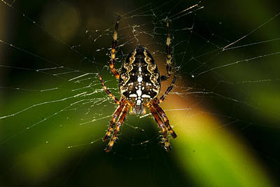 Photograph - Garden Spider by Jean Noren