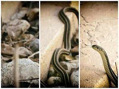Photograph - Gardener Snake by Kyle West