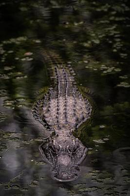 Photograph - Gator Approaching Full by Framing Places