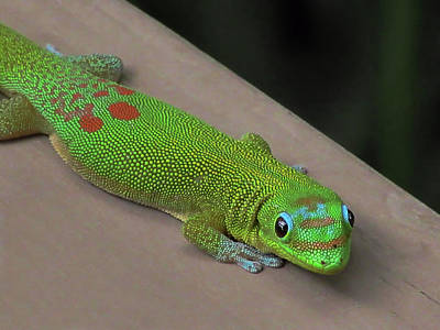 Photograph - Gecko Up Close by Pamela Walton