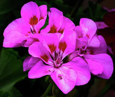 Photograph - Geranium by Michael Friedman