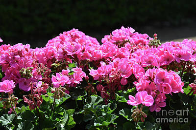 Photograph - Geraniums  by Ruth Housley