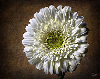 Photograph - Gerbera by Endre Balogh