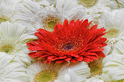 Photograph - Gerbera II by Paulo Goncalves