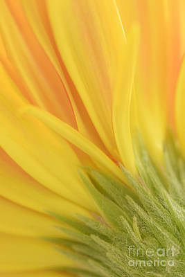 Gerbera Viridifolia Photograph - Gerbera by Kiran Joshi