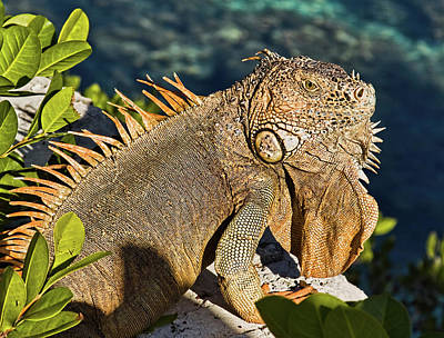 Photograph - Giant Iguana by Tatiana Travelways