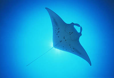 Giant Manta Ray Art Print by Matthew Oldfield