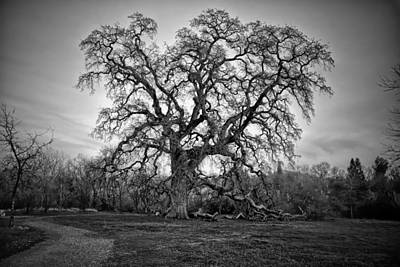 Photograph - Giant Oak Tree by Serena King