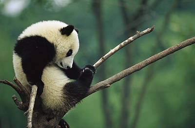 Panda Cub Wall Art - Photograph - Giant Panda Ailuropoda Melanoleuca Year by Cyril Ruoso