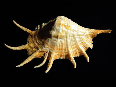 Photograph - Giant Spider Conch Seashell Lambis Truncata by Frank Wilson