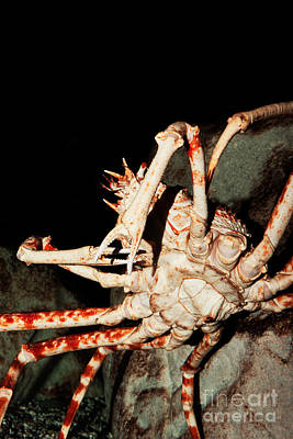 Ventral View Photograph - Giant Spider Crab Macrocheira Kaempferi by Gerard Lacz