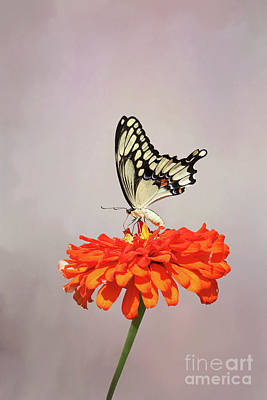 Photograph - Giant Swallowtail Butterfly #3 V2 by Judy Whitton