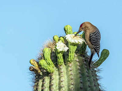 Photograph - Gila Woodpecker 7281 by Tam Ryan