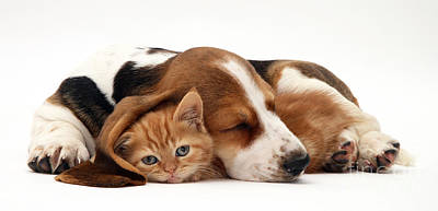 Animal Portraiture Photograph - Ginger Kitten And Basset Puppy by Jane Burton
