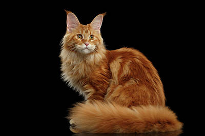 Cat Wall Art - Photograph - Ginger Maine Coon Cat Isolated On Black Background by Sergey Taran