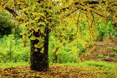 Photograph - Ginkgo Trees In Autumn by Carl Ning