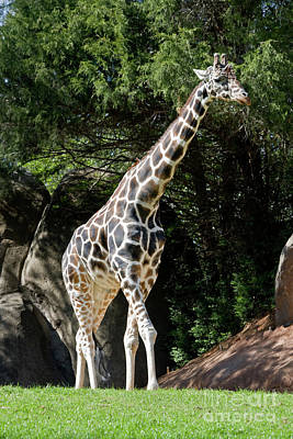 Photograph - Giraffe by Jill Lang