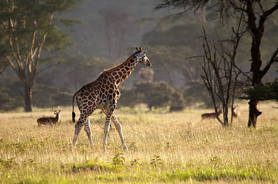 Photograph - Giraffe  by Michel Legare