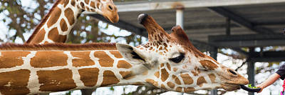 Photograph - Giraffes by Dart and Suze Humeston