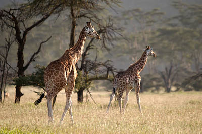 Photograph - Giraffes by Michel Legare