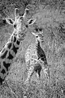 Photograph - Giraffes - That's My Baby by Gill Billington