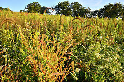 Photograph - Glacial Park Foxtail Grasses by Ray Mathis