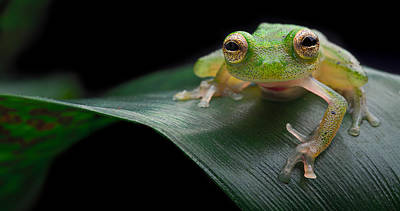 Photograph - glass frog Amazon forest by Dirk Ercken
