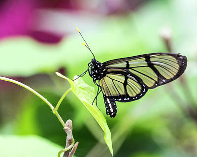 Photograph - Glass Wing Butterfly by Cathy Donohoue