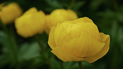Photograph - Globeflower by Jouko Lehto