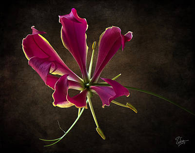 Photograph - Gloriosa Superba by Endre Balogh